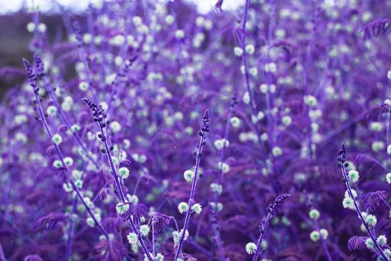 Lavender blooms for a relaxing spa scent Photo by Remson Pellisserry on Unsplash
